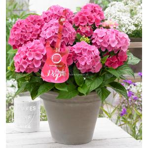 "Hydrangea Macrophylla Music Collection ""Pink Pop""® boerenhortensia"