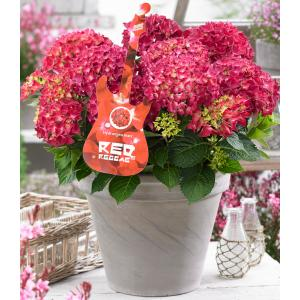 "Hydrangea Macrophylla Music Collection ""Red Reggae""® boerenhortensia"