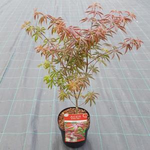 "Japanse esdoorn (Acer palmatum ""Starfish"") heester"