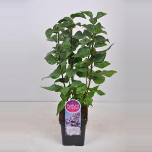 "Sering (syringa vulgaris ""Lavender Lady"")"