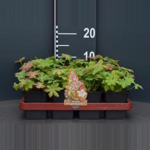 """Ooievaarsbek (geranium macrorrhizum """"Spessart"""") bodembedekker"""