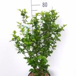 Hibiscus syriacus Totus Albus