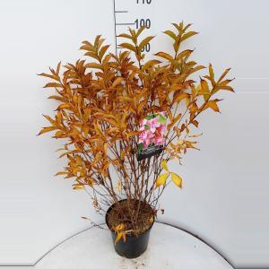 Weigela struik Bouquet Rose
