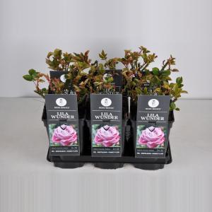 """Grootbloemige roos (rosa """"Lila Wunder"""")"""