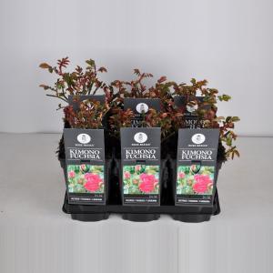 """Trosroos (rosa """"Kimono Fuchsia"""")"""