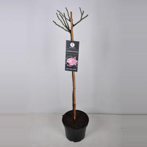 Trosroos op stam (rosa Laminuette) - 70 cm - 1 stuks
