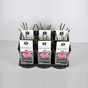 """Grootbloemige roos (rosa """"Beverly""""®)"""