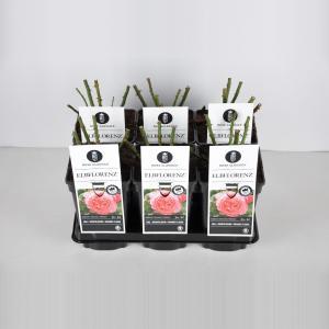 Grootbloemige roos (rosa Elbflorenz®) - C3 - 1 stuks