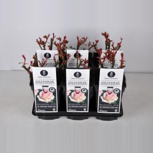 """Grootbloemige roos (rosa """"Souvenir de Baden Baden""""®)"""