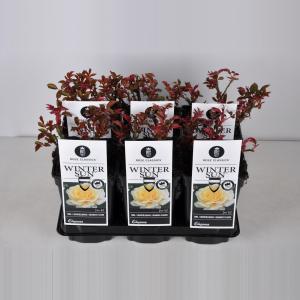 """Grootbloemige roos (rosa """"Winter Sun""""®)"""