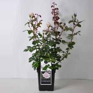 Grootbloemige roos (rosa A Whiter Shade of Pale®) - C5 - 1 stuks