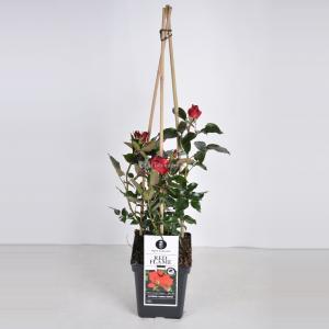 """Klimroos (rosa """"Red Flame""""®) - C5 - 1 stuks"""