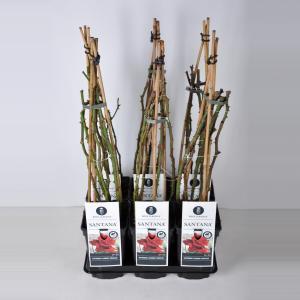 Korting Klimroos (rosa Santana ®) C3 1 stuks