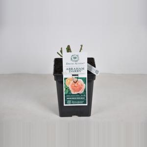 Engelse roos (rosa Abraham Darby®) - C5 - 1 stuks
