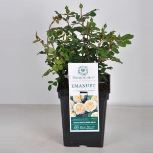 Engelse roos (rosa Emanuel®) - C5 - 1 stuks