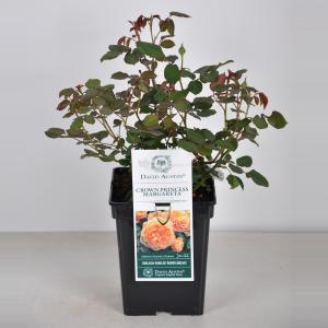 Engelse roos (rosa Crown Princess Margareta®) - C5 - 1 stuks