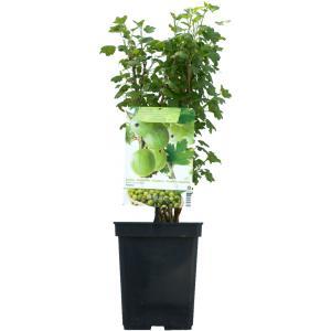 "Groene kruisbes (ribes uva crispa ""Tatjana"") fruitplanten"