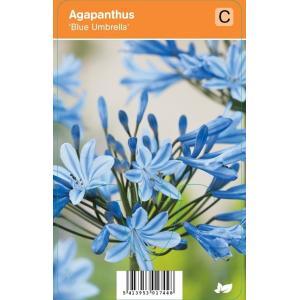 "Afrikaanse lelie (agapanthus ""Blue Umbrella"") zomerbloeier"