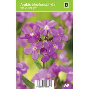 """Rijstebrij (arabis blepharophylla """"Rose Delight"""") voorjaarsbloeier"""