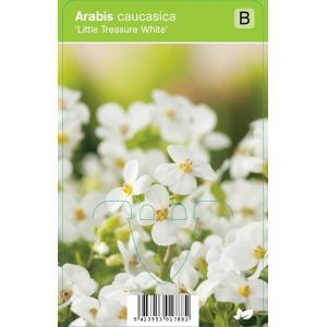 "Rijstebrij (arabis little treasure ""White"") voorjaarsbloeier"