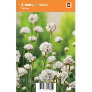 "Engels gras (armeria armada ""White"") zomerbloeier"