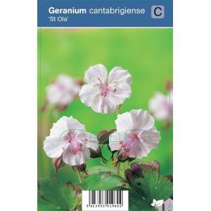 "Ooievaarsbek (geranium cantabrigiense ""St. Ola"") schaduwplant"