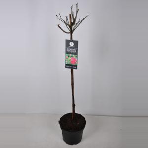 Trosroos op stam (rosa Kimono Fuchsia) - Stam 70 cm - 1 stuks