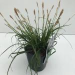 "Zegge (Carex oshimensis ""Everlime"") siergras"