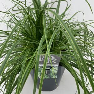 """Zegge (Carex oshimensis """"Everlime"""") siergras - In 5 liter pot - 1 stuks"""