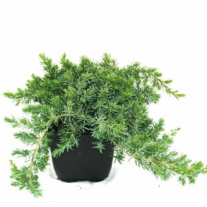 "Kruipende jeneverbes (Juniperus conferta ""Blue Pacific"") conifeer"