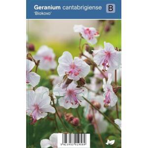 "Ooievaarsbek (geranium cantabrigiense ""Biokovo"") schaduwplant"