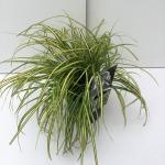 "Zegge (Carex oshimensis ""Eversheen"") siergras"