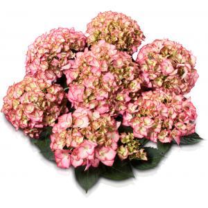 Hydrangea Macrophylla Classic® Adula Pink® boerenhortensia