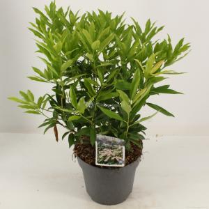 """Rotsheide (Pieris Japonica """"Brouwers Beauty"""") heester - 30-40 cm (C4.5) - 9 stuks"""