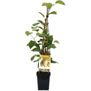 """Kiwi (actinidia chinensis """"Jenny"""") fruitplanten"""