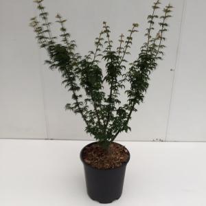 Japanse esdoorn (Acer palmatum Shishigashira) heester - 40-50 cm - 1 stuks
