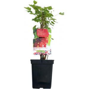 """Rode bes (ribes rubrum """"Rolan"""") fruitplanten"""