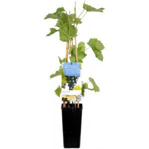 """Blauwe druif (vitis vinifera """"Muscat Blue"""") fruitplanten"""