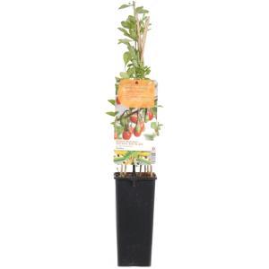 "Gojibes (Lycium Barbarum ""Gojibes"") fruitplanten"
