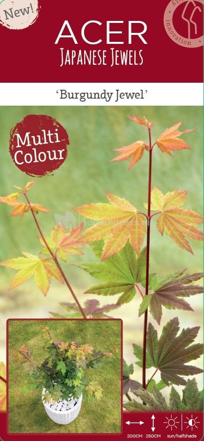 Plantenwinkelnl Japanse Esdoorn Acer Circinatum Burgundy Jewel