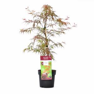 "Japanse esdoorn (Acer palmatum ""Garnet Tower"") heester"