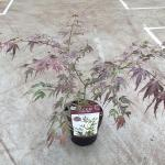 "Japanse esdoorn (Acer palmatum ""Manyo-no-sato"") heester"