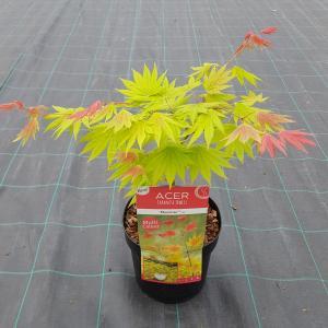 Dagaanbieding - Japanse esdoorn (Acer shirasawanum