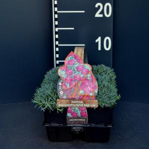 "Steenanjer (dianthus gratianopolitanus ""Babi Lom"") bodembedekker - 6-pack - 1 stuks"