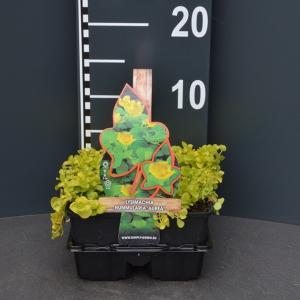 """Penningkruid (lysimachia nummularia """"Aurea"""") bodembedekker - 4-pack - 1 stuks"""