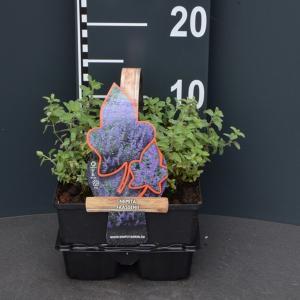 Kattenkruid (nepeta faassenii) bodembedekker - 4-pack - 1 stuks