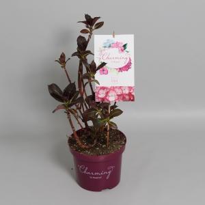 Hydrangea Macrophylla Charming® Lisa Pink® boerenhortensia - 25-30 cm - 1 stuks
