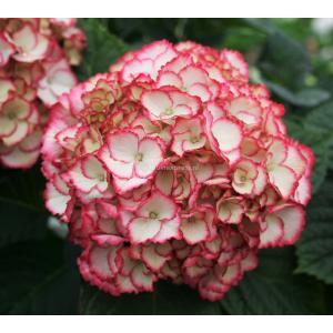 "Hydrangea Macrophylla ""Charming® Sophia Pink""® boerenhortensia"