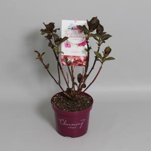 Hydrangea Macrophylla Charming® Sophia Pink® boerenhortensia - 25-30 cm - 1 stuks
