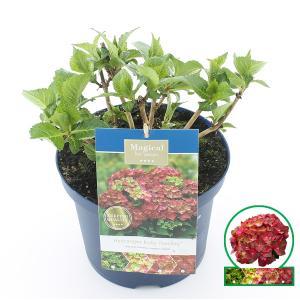 Hydrangea Macrophylla Magical Ruby Tuesday® boerenhortensia - 30-40 cm - 1 stuks